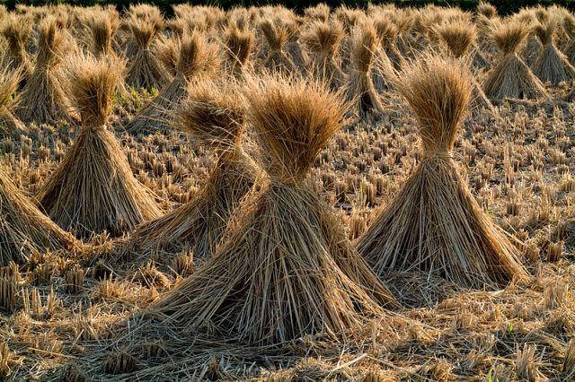 photo of rice straw